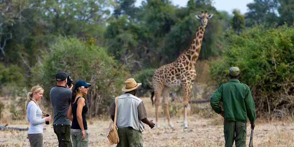 Walking safari with giraffe