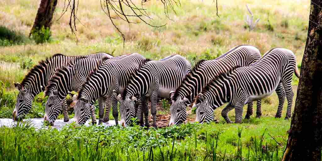 Grevy lined up